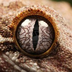 gecko eyes - Google Search