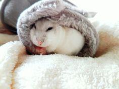 Dwarfhamster, winter