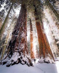 A winter wonderland at the Sequoia National Park ❄️🌲 PC & Ambassador: in California Winter Szenen, Winter Trees, Winter Walk, California Tourist Attractions, California Travel, Southern California, Sequoia National Park California, Voyager Loin, Image Nature