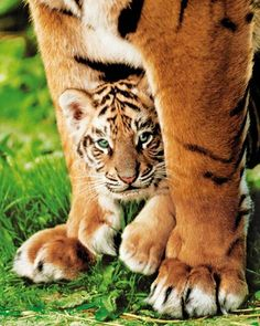 Oh tigers have the most beautiful blue eyes