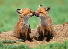Lobo-guará (Chrysocyon brachyurus) - Filhotes