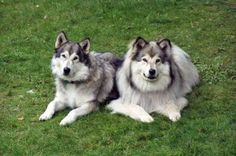 Native american indian dogs are good for people with allergies.