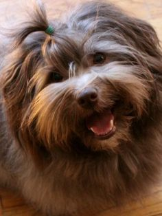 Awesome Red Havanese Havanese Facts My Name Source by alfiejamesavery The post Havanese Facts My Name appeared first on Saffron Pets. Havanese For Sale, Havanese Puppies, Dogs And Puppies, Doggies, Havanese Haircuts, Havanese Grooming, Puppy Grooming, Havanese Full Grown, Puppy Drawing