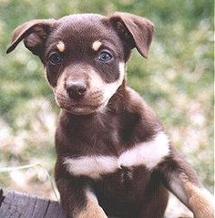 Hands down the most beautiful kelpie I've seen ! Different Dogs, Reptiles, Puppy Love, Fur Babies, Dog Breeds, Creatures, Puppies, Cute, Animals