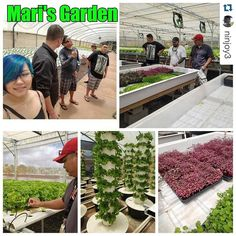 """Sous Chef Joy Yamane Exec Chef Ron de Guzman and the team @stagerestaurant working on creative ideas to better """"farm to table"""" freshness with Aqua/Aero-ponics. Mahalo Mari's Garden for the informative tour. """"Follow"""" our page for updates. ------------ #Repost @ninjoy3 with @repostapp.  #Mari'sGarden #supportlocal #freshproduce #microgreens #stagerestaurant #aquaponics #aeroponics #honoluludesigncenter # # # by stagerestaurant"""