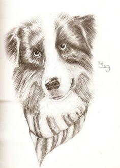 Australian shepheard dog