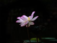 Lotus - null