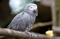African Gray Parrot - Animal Facts and Information