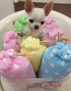 Chihuahua is a very amazing dog. So now that you are interested in adopting or buying Chihuahua, check first the list of Chihuahua colors and markings Chihuahua Puppies, Cute Puppies, Cute Dogs, Dogs And Puppies, Doggies, Cutest Dog Ever, Great Dane Puppy, Little Dogs, Beautiful Dogs