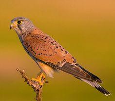 Eurasian Kestrel (Falco tinnunculus). A bird of prey widespread in Europe, Asia, and Africa. photo: Bruno Maia.