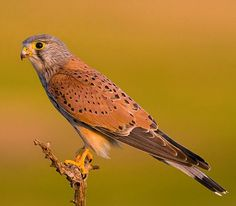 Eurasian Kestrel (Falco tinnunculus). A bird of prey widespread in Europe, Asia, and Africa. photo: Bruno Maia.