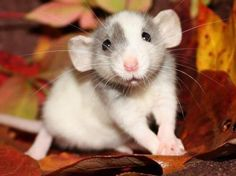 dumbo rats | very underrated pets... they're the best!