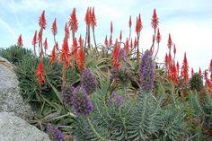 Echium candicans + Aloe arborescens