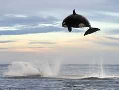 WOW. Spectacular shot of a killer whale jumping 15 ft. out of the water in pursuit of a bottlenose dolphin.  These photographs record the final act of a chase that lasted two hours.