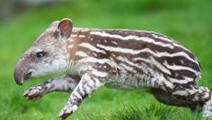 """Action shot of frolicking baby tapir born at the Dublin (Ireland) zoo. This site refers to the baby tapirs as """"watermelons""""--they outgrow spots & stripes. Many more great shots on their site."""