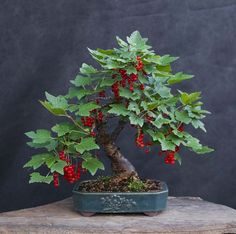 Bonsai redcurrant tree, simply delicius!