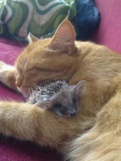 Photo of a beautiful cat and what appears to be a very large eared hedgehog?