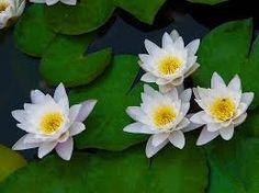 plantas ornamentales  NENUFAR BLANCO- Buscar con Google