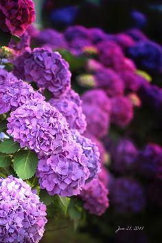 Hydrangeas Follow My Pinterest: @vickileandro