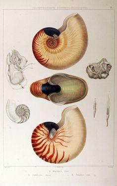 Nautilus umbilicatus; Nautilus pompilius c.1842