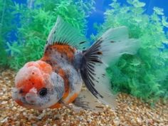Lot# 9381 SHOW QUALITY Red Kirin Oranda with cute pompons (6.25 inches) goldfishnet.com
