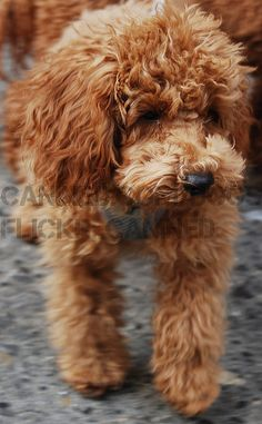 groomed cute apricot toy & red miniature poodle dog
