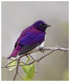 Violet Backed Starling - stunning
