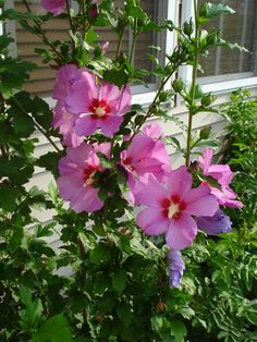 137 Best Rose Of Sharon Looks Like Hibiscus Its Not Images In