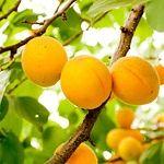 Řez meruněk: Šittův řez zajistí bohatou úrodu - Užitková zahrada Gardening Tips, Pesto, Fruit, River, Lawn And Garden, Rivers