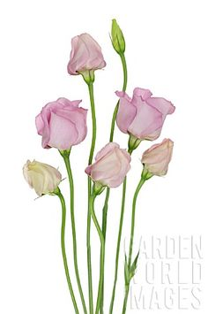 Love growing Lisianthus and must get back to it - EUSTOMA_LISIANTHUS