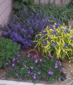 Golden leaved Tradescantia, blue Nepeta, Cranesbill Geranium. Perennial combo for part sun, hardy to USDA zone 4.