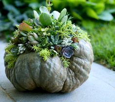 Succulent topped pumpkin (or winter squash in this case)! I carried this squash over from LAST fall- it even made the move with us this past spring. Grow Trimable squash if you want a squash that keeps forever...  Instructions on this project just uploaded on our YT & FB!  I hope you all have an incredible weekend!