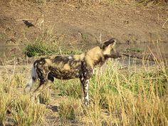 Wild Dog, Sabi Sands, Kruger National Park, South Africa