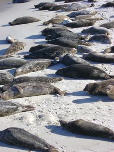 seal beach La Jolla come take a look at all the puppies of the sea on a kayak tour in #LaJolla #EDCA