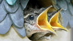 Watch and listen as a Carolina Wren feeds its hungry baby birds. We're up close and in HD with Front Yard Video. Can you identify what the babies are