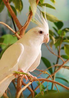 Cockatiel - Calopsita