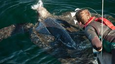 Great video showing the habits of the leatherback turtles