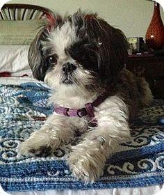 Los Angeles, CA - Shih Tzu. Meet Rosie, a dog for adoption. http://www.adoptapet.com/pet/17444561-los-angeles-california-shih-tzu