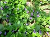 violet ground cover