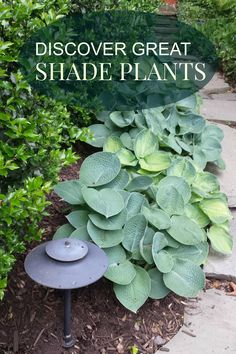 There are absolutely beautiful plants for shade. Hostas, Hydrangea, Lirope...just to name a few. Discover how you can create an exciting shade garden. http://www.landscape-design-advice.com/shade-perennials.html