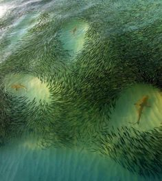School of fish makes way for sharks. Maldives.