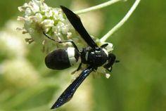 Four-toothed Mason Wasp (Monobia quadridens)