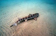 leopard shark my favorite type of shark Zebra Shark, Leopard Shark, Types Of Sharks, Small Tats, I Love The Beach, Close Encounters, Marine Biology, Shark Week, Underwater Photography