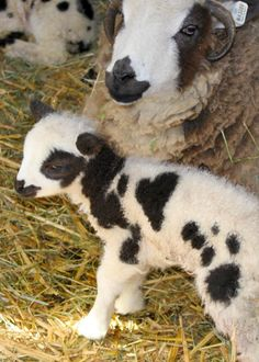 And here's is another really, really, REALLY cute baby lamb, born with a heart marking.  Real spot, NOT PS'd!
