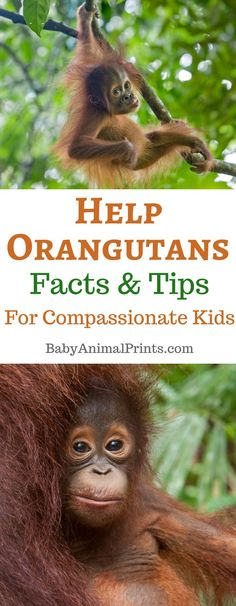 Orangutans are in trouble. Half of Sumatra's forests have been destroyed in just 20 years. The main culprit? Learn about Orangutans and some easy ways you and your family can make a difference to help these endangered animals. Nature Activities, Animal Activities, Educational Activities, Science Nature, Sumatran Orangutan, Orangutans, Book Of Changes, Cute Monkey, Environmental Education