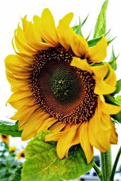 Sunflowers in sunny | Backyards Click