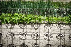 bed spring garden trellis | Vintage wire bed springs make a great trellis for the garden.