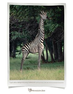 Giraffe or Zebra?