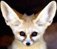 fennec fox - - Yahoo Image Search Results