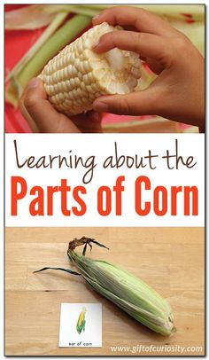 Fun, hands-on, Montessori-inspired learning about the parts of corn. Post includes ideas for learning about corn using a real ear of corn as well as a link to some detailed printables about the parts of corn.  || Gift of Curiosity